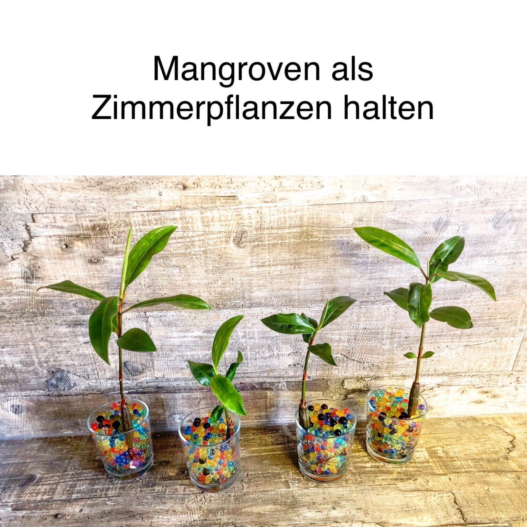 Mangroven Samen