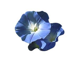 Blaue Prunkwinde -Ipomea tricolor- 1.000 Samen