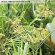 Cyperus aggregatus 20 Samen