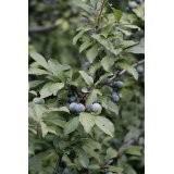 Schlehen *Schlehdorn* -Prunus spinosa- 1.000 Samen