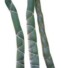 Moso Bambus -Phyllostachys edulis-  1000 Samen