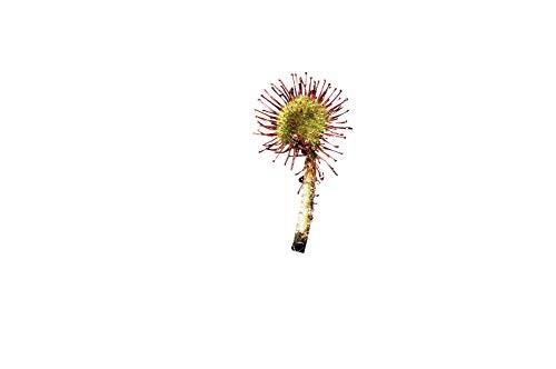Winterharter Sonnentau -drosera rotundifolia- 25 Samen