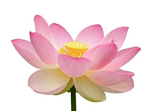 Lotus Pink -Nelumbo nucifera- 25 Samen