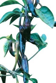 Serrano Purple 10 Samen
