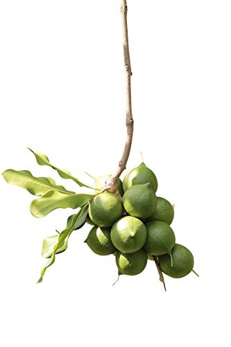 Macadamia Baum 5 Samen