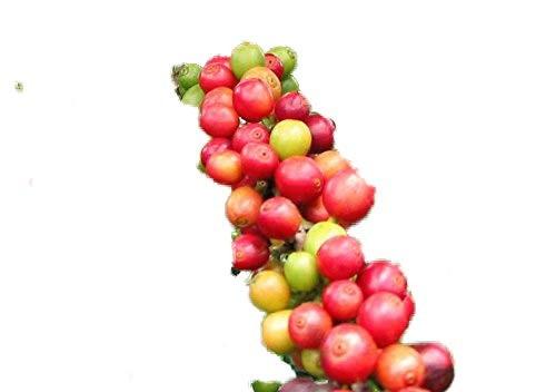 Zwerg Kaffee -Coffea arabica .nana- 20 Samen