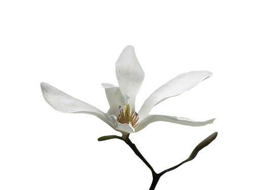 Kobushi Magnolie -Magnolia kobus- 15 Samen