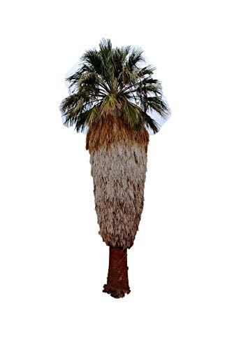 Washington Palme -Washingtonia filifera- 100 Samen