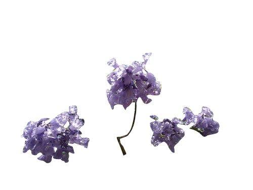 Palisanderbaum -Jacaranda mimosifolia- 1000 Samen