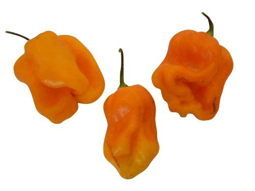 "7 Pot""Chaguanas Yellow/Orange"" Chili 10 Samen""Ultrascharfe Chili"" aus Trinidad"
