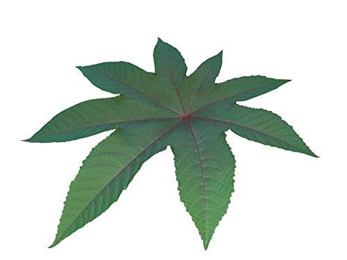 Ricinus Wunderbaum -ricinus communis- 100 Samen