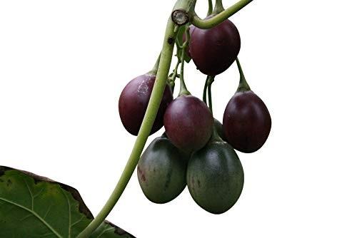 Tamarillo -Cyphomandra betacea- 10 Samen
