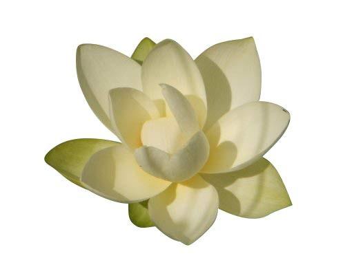 Lotus Blume Weis -Nelumbo nucifera- 3 Samen