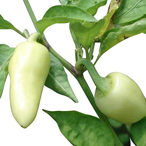 Hot-Caloro Chili 10 Samen