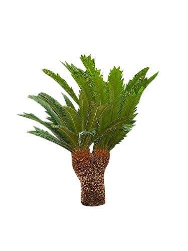 Cycas Palme - Cycas revoluta- 10 Samen
