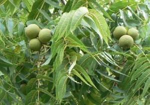 Schwarznuss -juglans nigra- 50 Samen/Nüsse