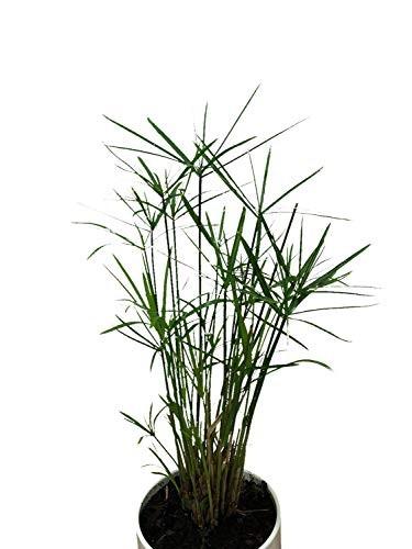 Zyperngras Ableger -Cyperus alternifolius-