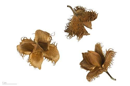 Rotbuche -Fagus sylvatica- 10 Samen