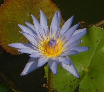 Tropische Blaue Seerose 10 Samen