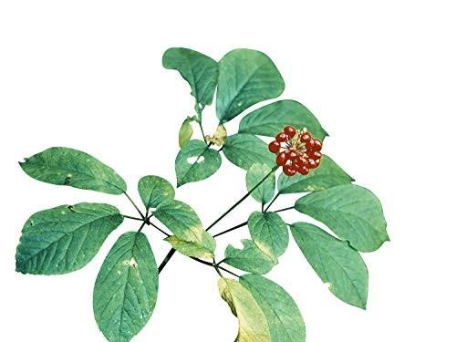 Amerikanischer Ginseng -Panax quinquefolius- 20 Samen