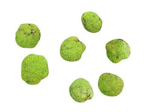 Milchorangenbaum -Maclura pomifera- 10 Samen