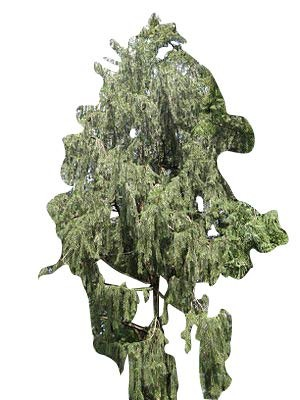 Himalaja Fichte -Picea smithiana- 50 Samen