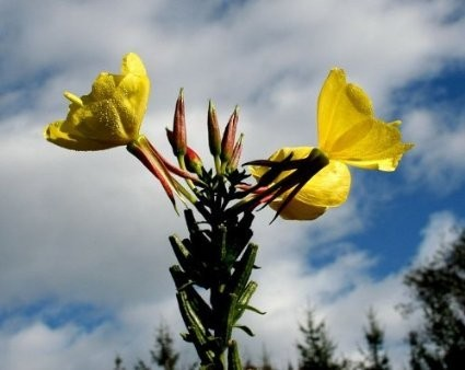 Gelbe Nachtkerze -oenothera biennis- 50.000 Samen
