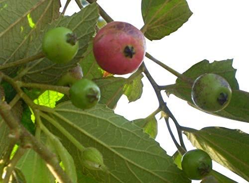 Jamaica Kirsche -Muntingia calabura- 20 Samen