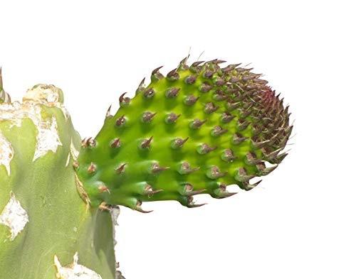 Opuntie -opuntia engelmannii 15 Samen