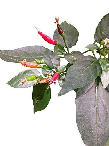 Tabasco Chili 10 Samen