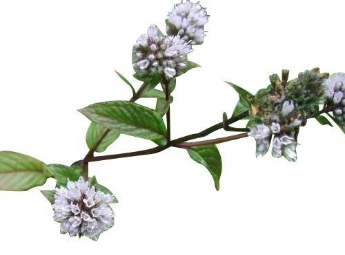 Pfefferminz -Mentha × piperita- 100 Samen