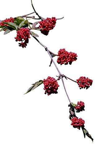 Roter Holunder -Sambucus racemosa- 100 Samen