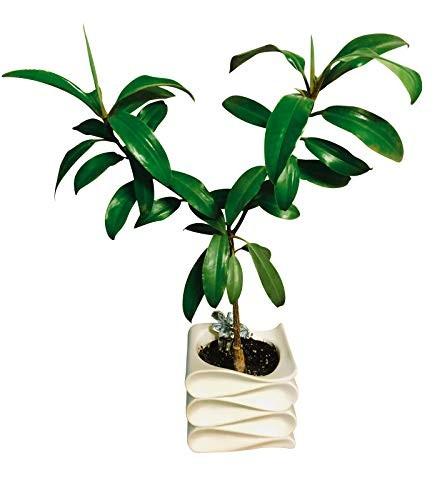 Orange Mangrove -Bruguiera sexangula- Samen