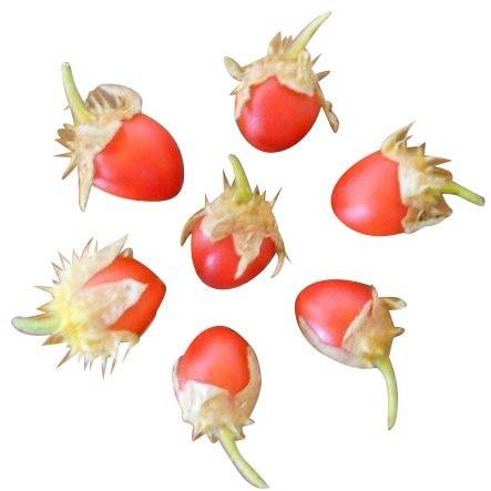 Litschitomate -Solanum sisymbrifolium- 10 Samen