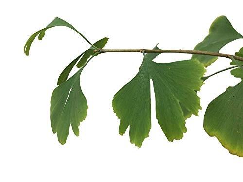 Ginkgo -Ginkgo biloba- 3 Samen