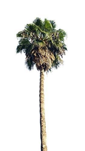 Washington Palme -washingtonia robusta- 1000 Samen