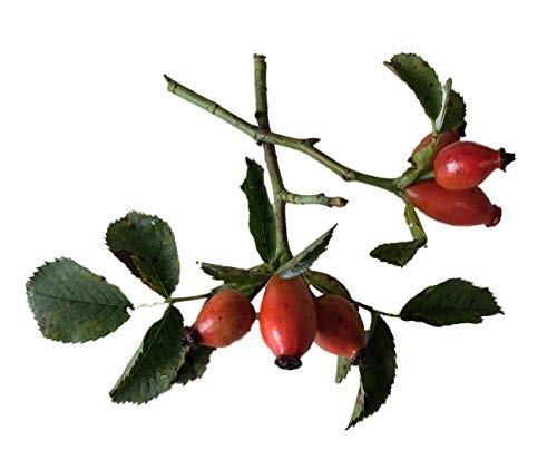 Heckenrose -Rosa canina- 50 Samen