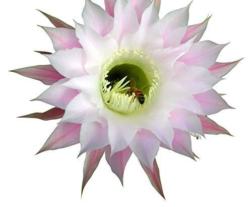 """Echinopsis""""alte Hybriden"""" Mix 25 Samen"""