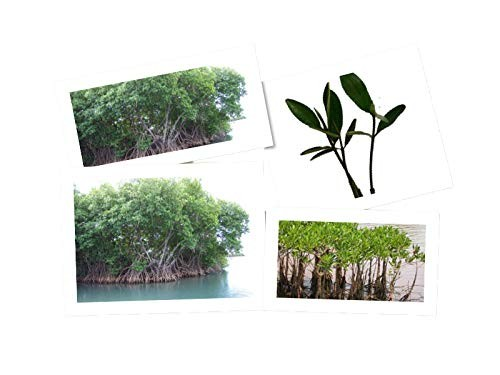 Rote Mangrove -Rhizophora mangle- 2 Pflanzen