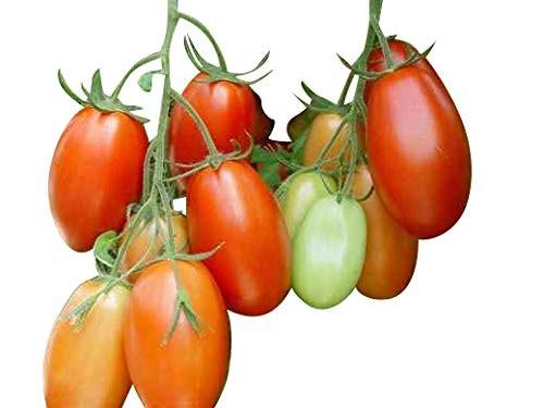 Tomate -Rio Grande- 10 Samen