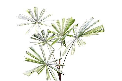 Mangroven Strahlenpalme -Licuala spinosa- 10 Samen
