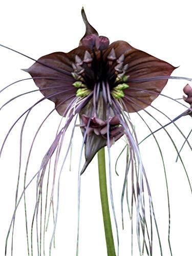 Schwarze Fledermausblume -Tacca chantrieri- 100 Samen