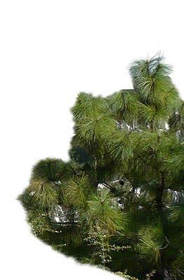 Yunnan Kiefer -Pinus yunnanensis- 20 Samen