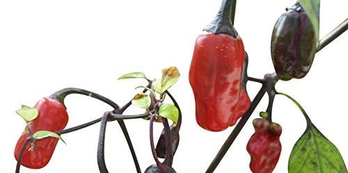 Mini Chili -Variegata- 10 Samen-