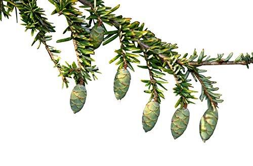 Kanadische Hemlocktanne -Tsuga canadensis- 50 Samen