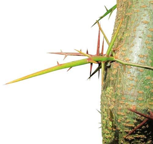 Christusdorn -Gleditsia triacanthos- 20 Samen