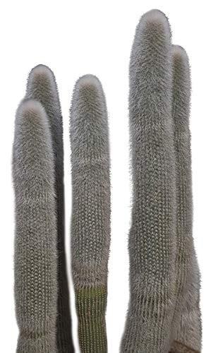 Silberkerzenkaktus -Cleistocactus strausii- 10 Samen