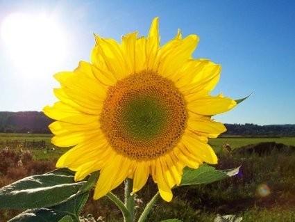 Sonnenblume -(Helianthus annuus- 1000 Samen