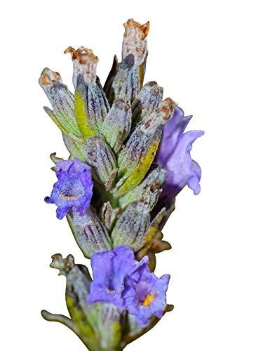 250 Samen vom Echten Lavendel -Lavandula angustifolia- -Vertreibt Mücken-