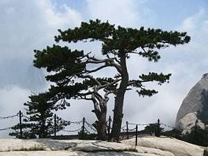 Chinesische Kiefer -Pinus tabuliformis- 20 Samen